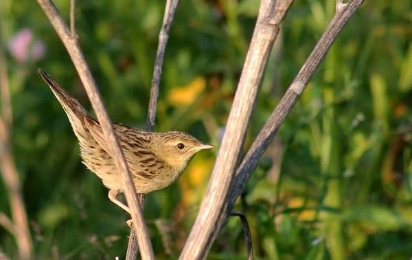 Птица-сверчок-её-особенности-образ-жизни-и-среда-обитания-2