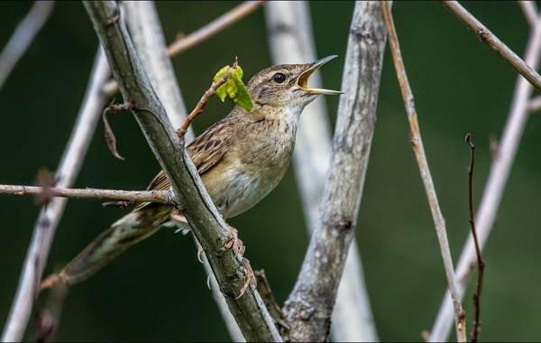Птица-сверчок-её-особенности-образ-жизни-и-среда-обитания-3