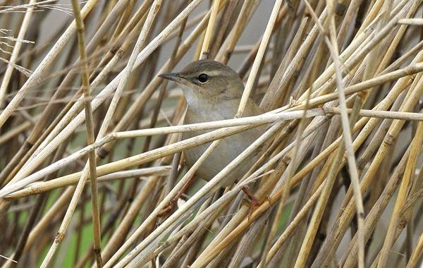 Птица-сверчок-её-особенности-образ-жизни-и-среда-обитания-5