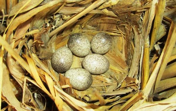 Птица-сверчок-её-особенности-образ-жизни-и-среда-обитания-6