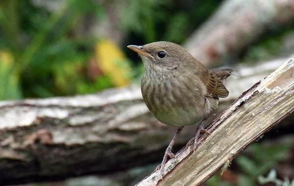 Птица-сверчок-её-особенности-образ-жизни-и-среда-обитания-7