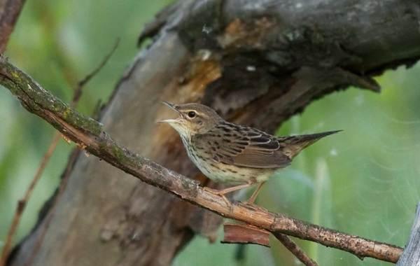 Птица-сверчок-её-особенности-образ-жизни-и-среда-обитания-8