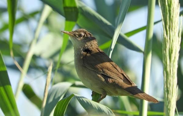 Птица-сверчок-её-особенности-образ-жизни-и-среда-обитания-9