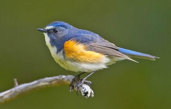 Синехвостка-птица-её-особенности-образ-жизни-и-среда-обитания-1