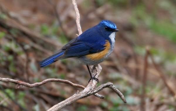 Синехвостка-птица-её-особенности-образ-жизни-и-среда-обитания-10
