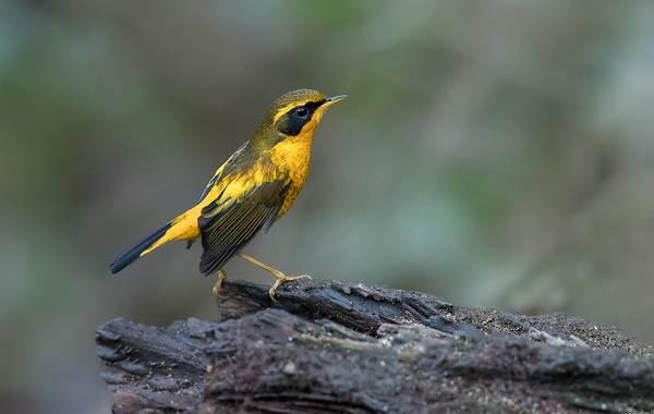 Синехвостка-птица-её-особенности-образ-жизни-и-среда-обитания-11