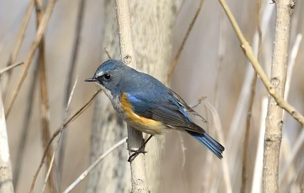 Синехвостка-птица-её-особенности-образ-жизни-и-среда-обитания-3