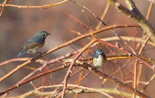 Синехвостка-птица-её-особенности-образ-жизни-и-среда-обитания-6