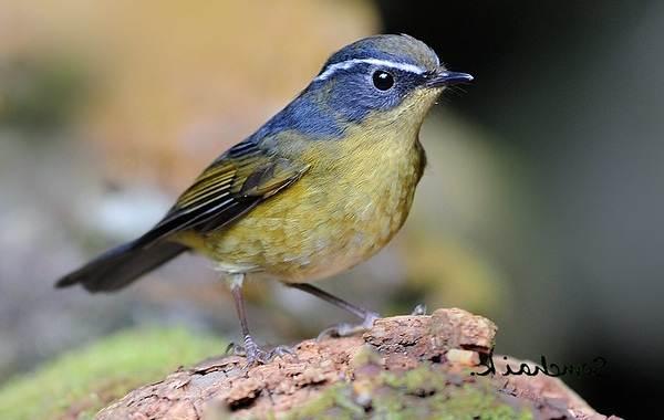 Синехвостка-птица-её-особенности-образ-жизни-и-среда-обитания-7