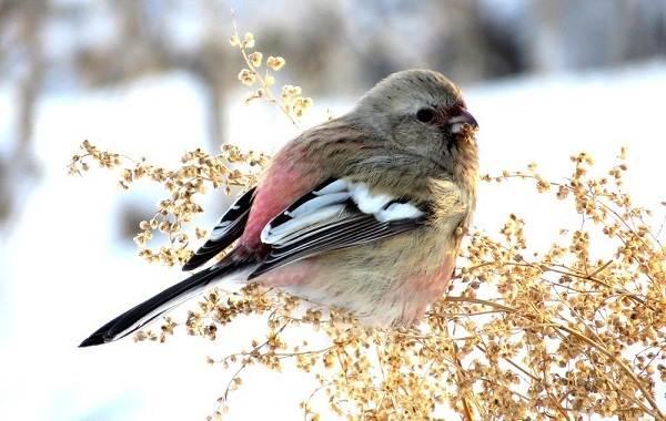 Урагус-птица-её-особенности-образ-жизни-и-среда-обитания-1