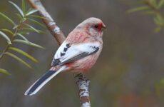 Урагус птица, её особенности, образ жизни и среда обитания
