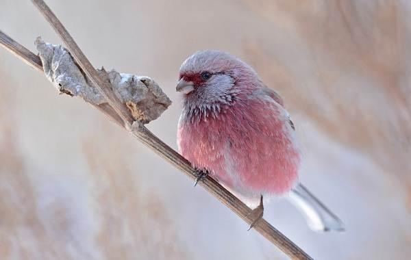 Урагус-птица-её-особенности-образ-жизни-и-среда-обитания-4