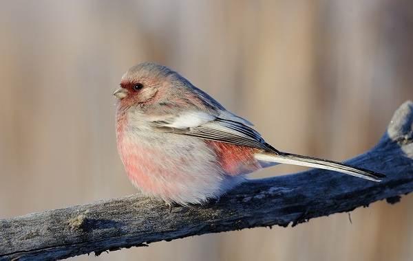 Урагус-птица-её-особенности-образ-жизни-и-среда-обитания-5