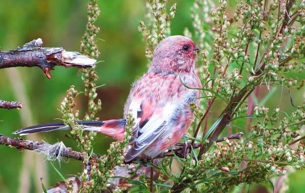 Урагус-птица-её-особенности-образ-жизни-и-среда-обитания-6