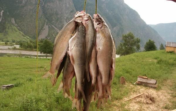 12-лучших-рыболовных-мест-Алтайского-края-Бесплатные-водоёмы-8