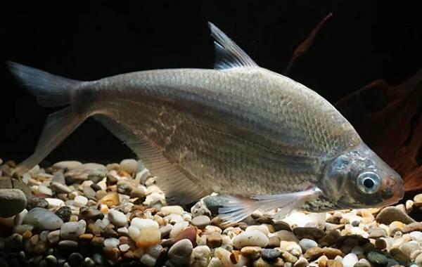 Рыба-сопа-её-особенности-где-водится-и-как-ловить-1
