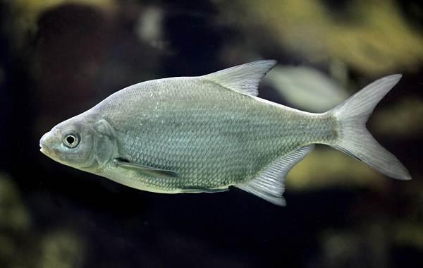 Рыба-сопа-её-особенности-где-водится-и-как-ловить-3