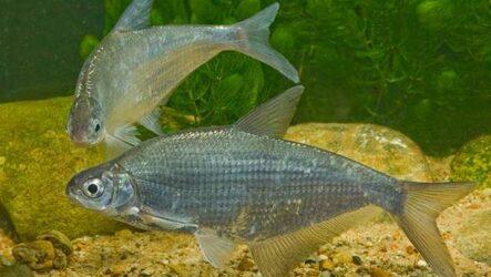 Рыба сопа, её особенности, где водится и как ловить