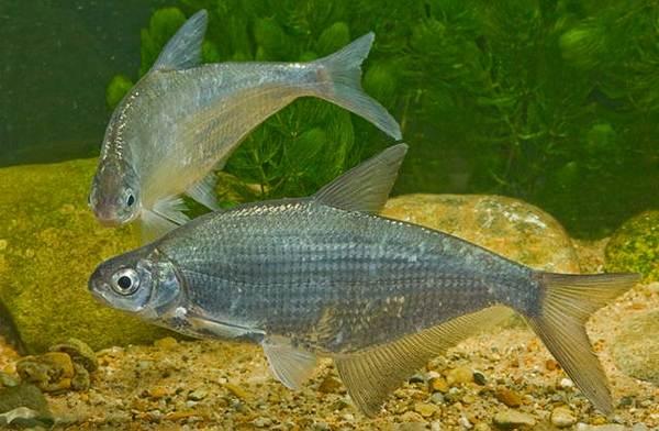 Рыба-сопа-её-особенности-где-водится-и-как-ловить-5