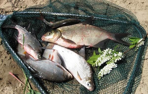 Рыба-сопа-её-особенности-где-водится-и-как-ловить-6
