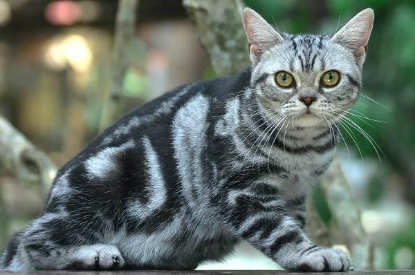 Американская-короткошёрстная-кошка-Описание-особенности-уход-и-цена-породы-1