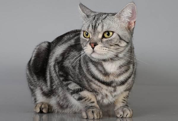 Американская-короткошёрстная-кошка-Описание-особенности-уход-и-цена-породы-2