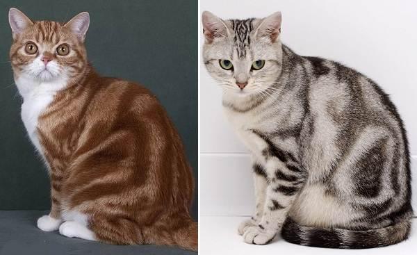 Американская-короткошёрстная-кошка-Описание-особенности-уход-и-цена-породы-3