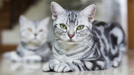 Американская короткошёрстная кошка. Описание, особенности, уход и цена породы