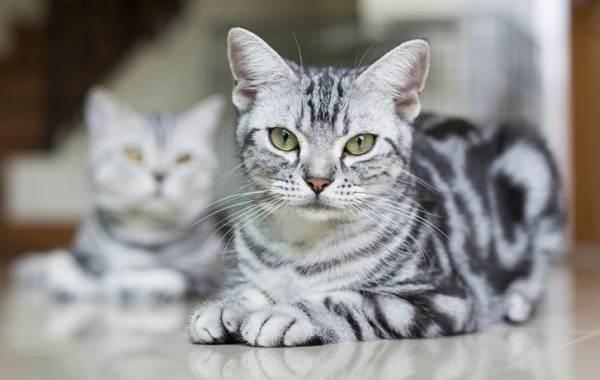 Американская-короткошёрстная-кошка-Описание-особенности-уход-и-цена-породы-4