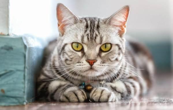 Американская-короткошёрстная-кошка-Описание-особенности-уход-и-цена-породы-5