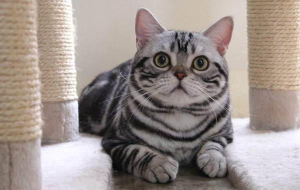 Американская-короткошёрстная-кошка-Описание-особенности-уход-и-цена-породы-6
