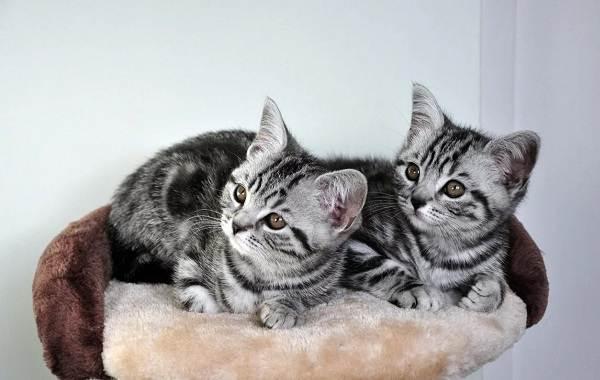 Американская-короткошёрстная-кошка-Описание-особенности-уход-и-цена-породы-7