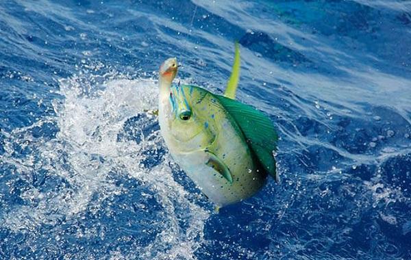 Корифена-рыба-её-описание-особенности-виды-образ-жизни-и-среда-обитания-10