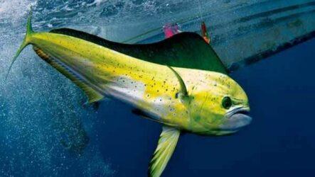 Корифена рыба, её описание, особенности, виды, образ жизни и среда обитания