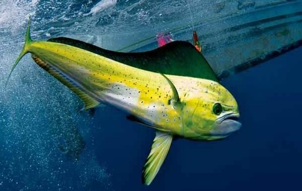 Корифена-рыба-её-описание-особенности-виды-образ-жизни-и-среда-обитания-4