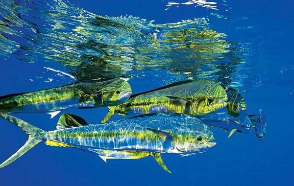 Корифена-рыба-её-описание-особенности-виды-образ-жизни-и-среда-обитания-5