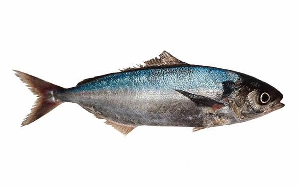 Саворин-рыба-Описание-особенности-образ-жизни-и-среда-обитания-1