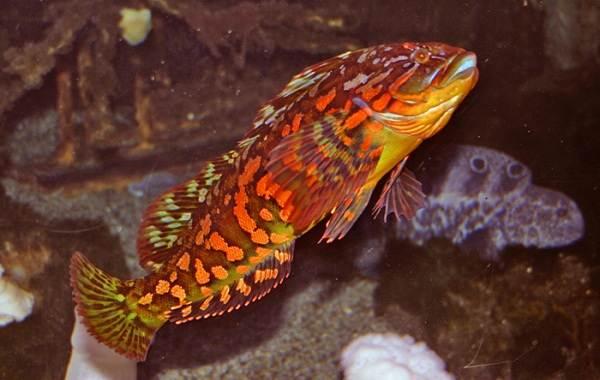 Терпуг-рыба-Описание-особенности-образ-жизни-и-среда-обитания-хищницы-10