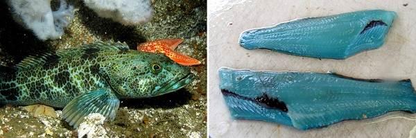 Терпуг-рыба-Описание-особенности-образ-жизни-и-среда-обитания-хищницы-12