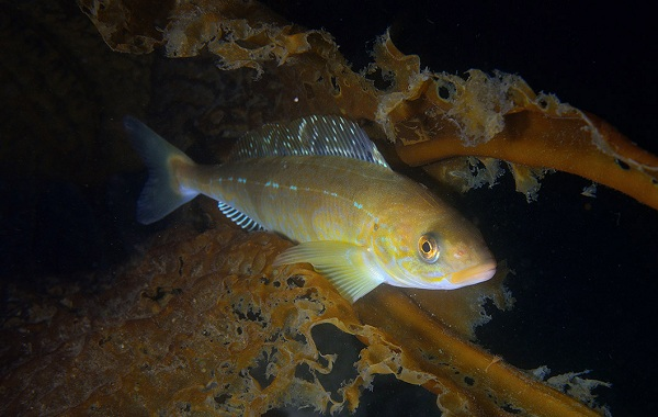 Терпуг-рыба-Описание-особенности-образ-жизни-и-среда-обитания-хищницы-13