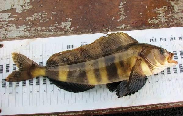 Терпуг-рыба-Описание-особенности-образ-жизни-и-среда-обитания-хищницы-2
