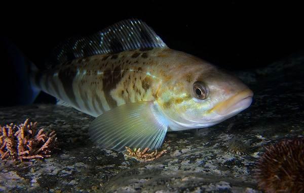 Терпуг-рыба-Описание-особенности-образ-жизни-и-среда-обитания-хищницы-3