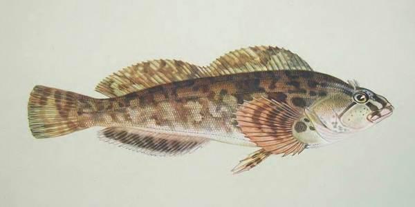 Терпуг-рыба-Описание-особенности-образ-жизни-и-среда-обитания-хищницы-7