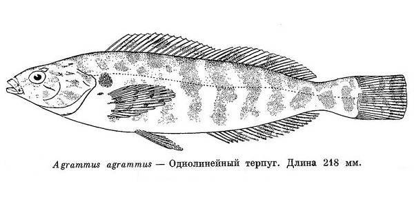 Терпуг-рыба-Описание-особенности-образ-жизни-и-среда-обитания-хищницы-8