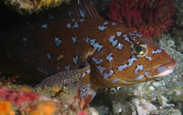 Терпуг-рыба-Описание-особенности-образ-жизни-и-среда-обитания-хищницы-9