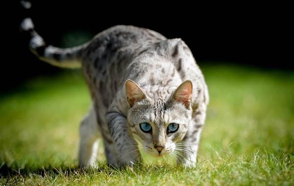Кошка-охос-азулес-Её-характер-особенности-ухода-за-ней-и-история-породы-10