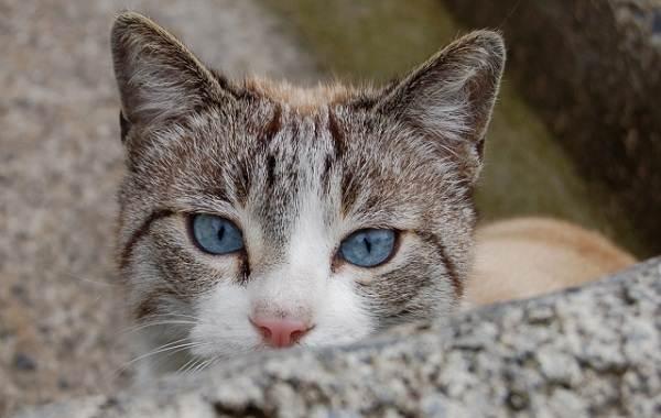 Кошка-охос-азулес-Её-характер-особенности-ухода-за-ней-и-история-породы-11