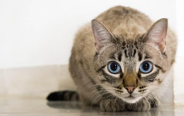 Кошка-охос-азулес-Её-характер-особенности-ухода-за-ней-и-история-породы-12
