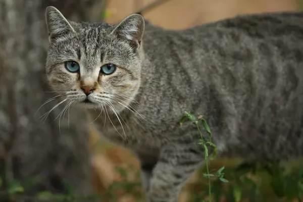 Кошка-охос-азулес-Её-характер-особенности-ухода-за-ней-и-история-породы-2