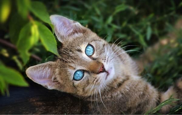 Кошка-охос-азулес-Её-характер-особенности-ухода-за-ней-и-история-породы-4